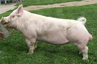 Olsen Yorkshires :: Boar Stud