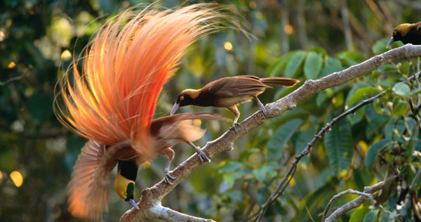 Birds of the Gods   Birds of Paradise and Sexual Selection   Nature     SEXUAL SELECTION  DRESS TO IMPRESS  There are close to forty species of  birds of paradise
