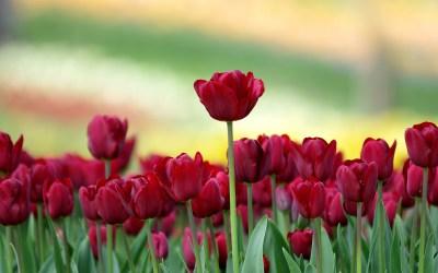 Tulip Flowers Wallpaper | PixelsTalk.Net