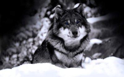 Wolf Wallpaper HD free download | PixelsTalk.Net