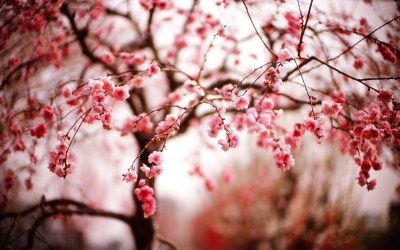 Cherry Blossom Wallpaper HD | PixelsTalk.Net