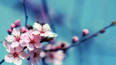 Flowers Cherry Blossom Wallpapers | PixelsTalk.Net