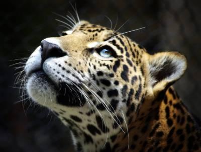 Leopard HD Wallpaper High Resolution   PixelsTalk.Net
