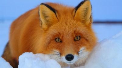 Fox Wallpapers For Desktop | PixelsTalk.Net