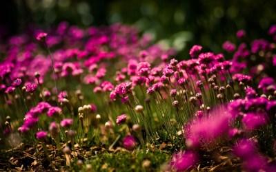 Free Download Pink Flowers Backgrounds | PixelsTalk.Net