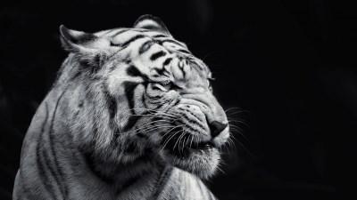 Tiger 1600x900 HD Wallpaper. - Media file | PixelsTalk.Net