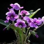 Violetas: sus bondades y formas de cultivo