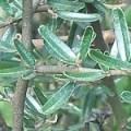 Palo Azul... para el Ácido úrico, Dolores Artículares, Cólicos Renales, Ciática