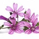 Malva: planta para Aliviar la Garganta, Salud de Encías, Piel y más