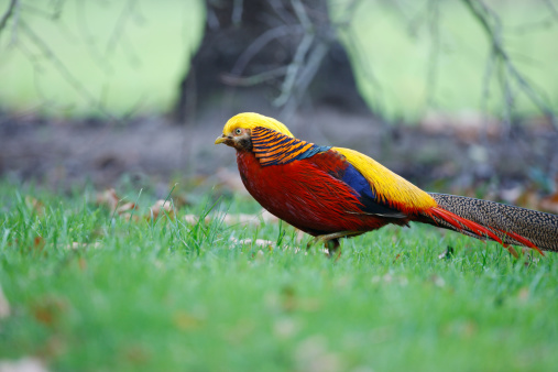 Red Golden Pheasant Red Golden Pheasants