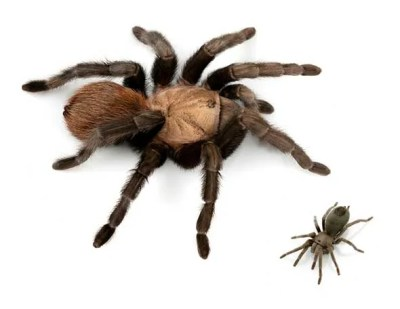 Tarantula in Black: Dark, Hairy Spider Named After Johnny Cash - Scientific American