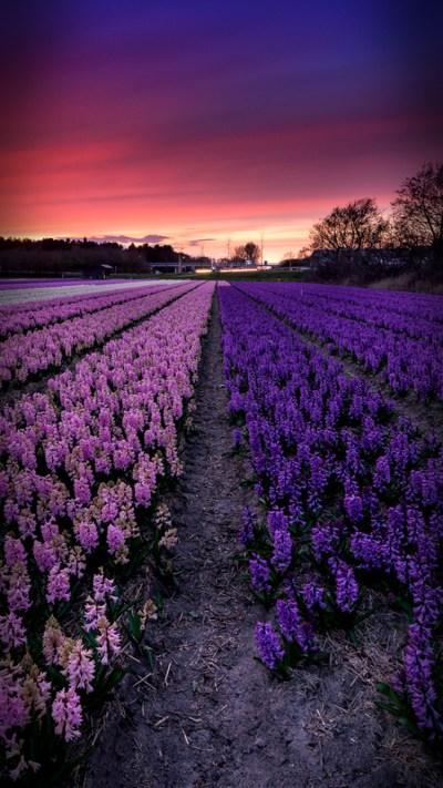 Lavender iPhone 7 Wallpaper [750x1334]