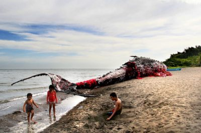Devastating sight of decaying whale remains filled with rubbish shock public - But everything ...