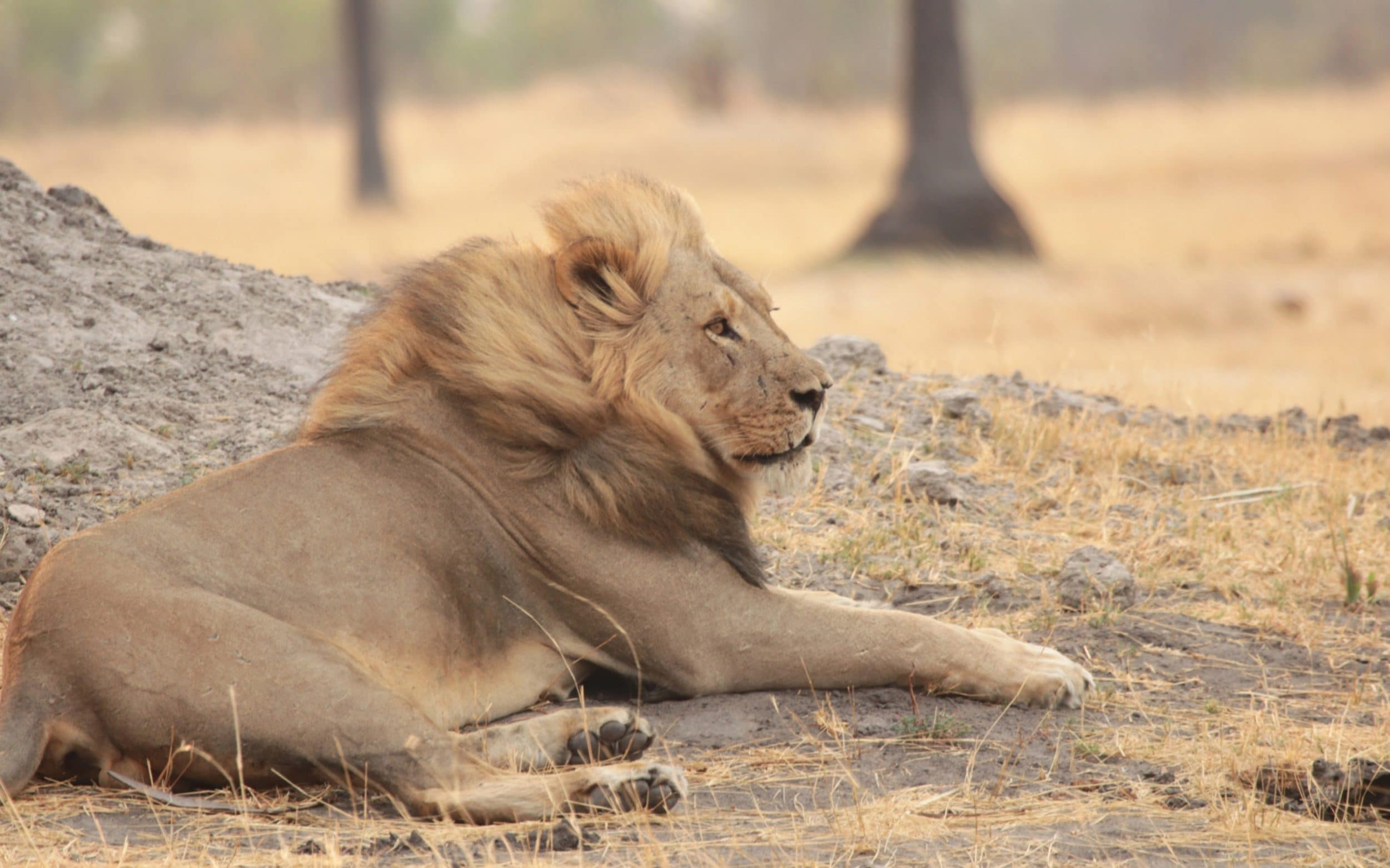 What really happened to Xanda  the son of Cecil the lion  Xanda the Lion in Hwange National Park