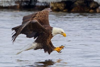 The Bald Eagle: Bird of the Free in the Land of the Brave
