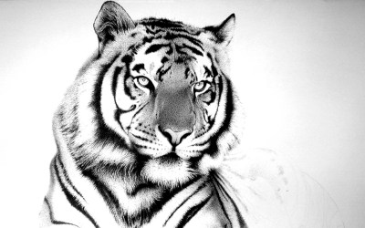 Cool White Tiger Background wallpaper | animals | Wallpaper Better