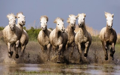 Galloping White Horses Hd Wallpapers For Laptop Widescreen Free Download : Wallpapers13.com