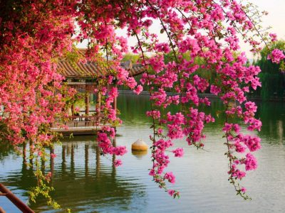 Pink Spring Flowers In The Park Chinese Kunming China Hd Wallpaper : Wallpapers13.com
