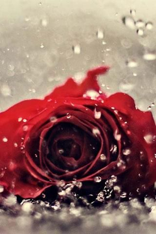 Download Live Wallpaper Red Rose Gallery