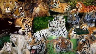Tiger predator leopard lion jaguar cheetah h wallpaper | 1920x1080 | 196145 | WallpaperUP