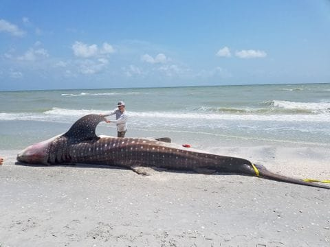 A red tide ravaging Florida may have killed a whale shark for the     Biologists perform a necropsy on a whale shark that died in Florida waters    Florida Fish and Wildlife Conservation Commission