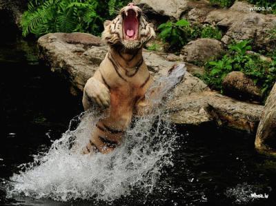 Image Of Roaring Tiger In Water Hd