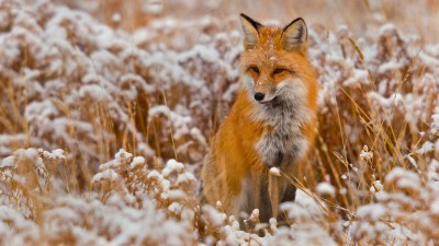 4K Fox Wallpapers High Quality | Download Free