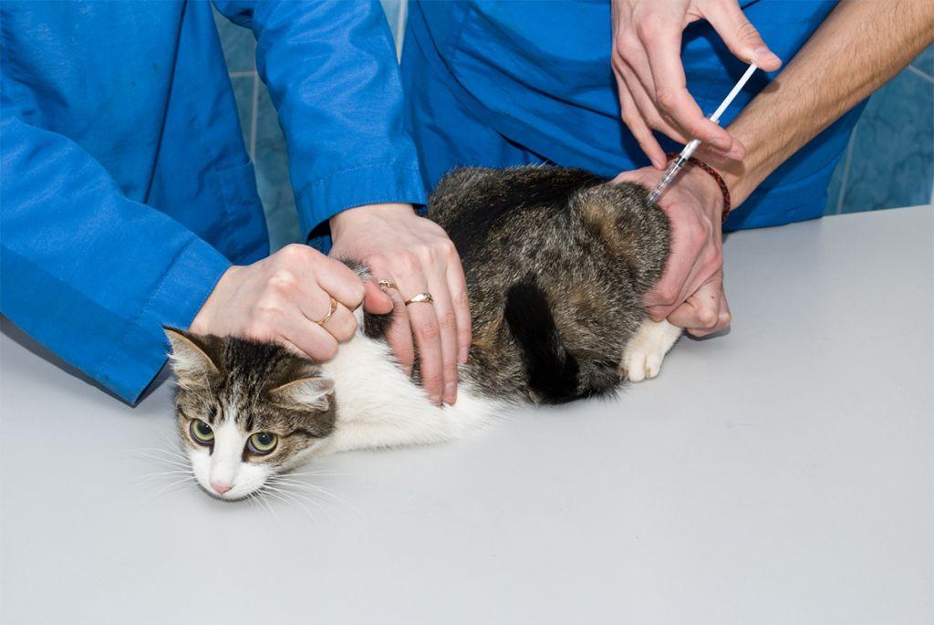Sekvence akce, když je kočka intramuskulárně