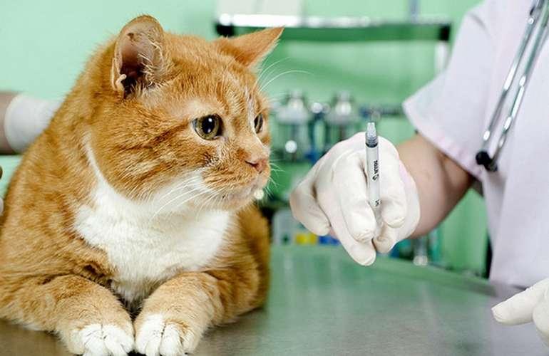 Jak se připravit na injekci kočky intramuskulárně