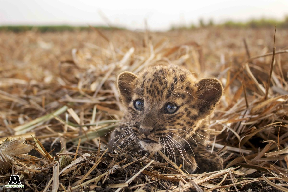 Raising Orphaned and Abandoned Leopard Cubs at Wildlife SOS