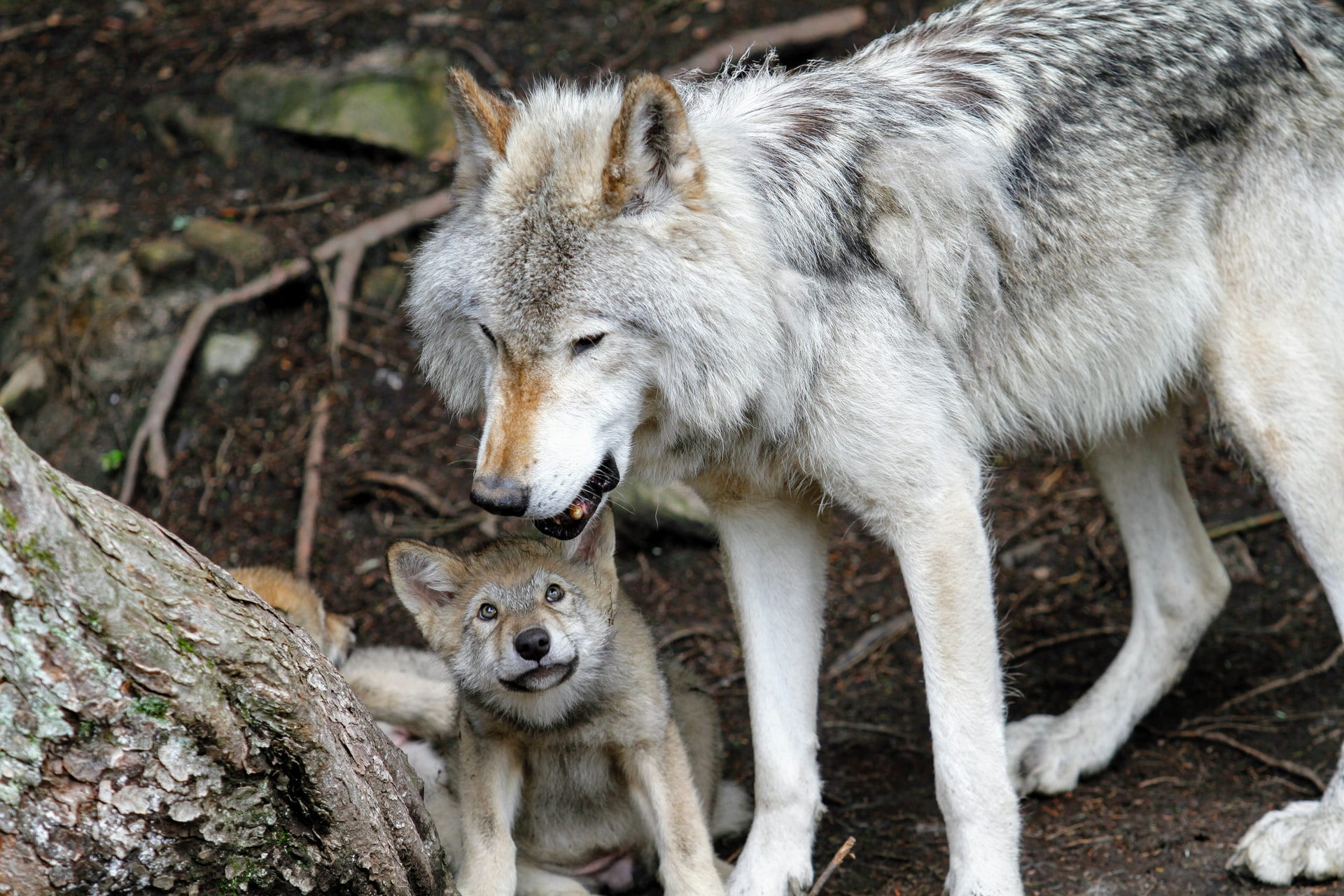 For the First Time in History California has Two Packs of Wolves with Pups