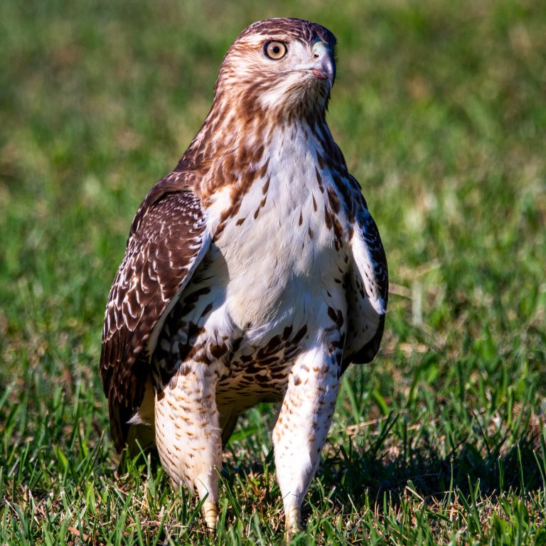 Red-Tailed Hawk Rescued After Being Hit by Truck