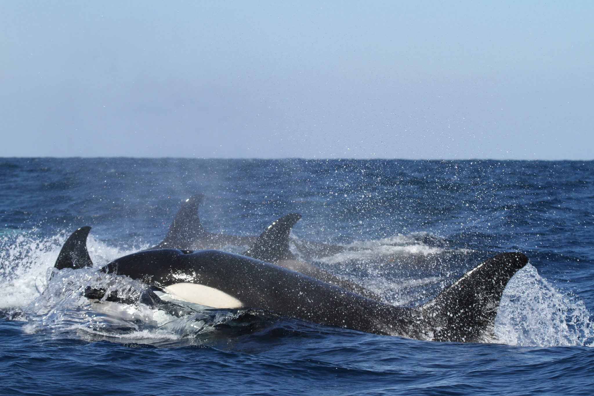 Tell SeaWorld to Send its Orcas to Sanctuaries