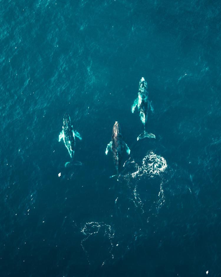 Norwegian Whaling Season Wipes Out 575 Minke Whales