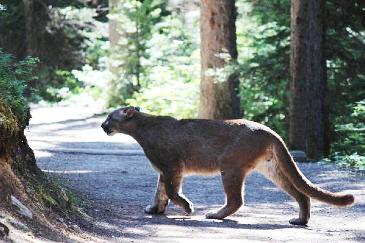 People asked to report any cougar sightings in east Maple ...