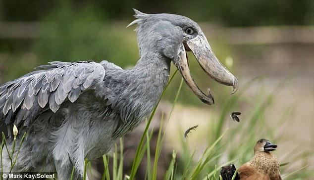 Shoebill Picking Duck Bird