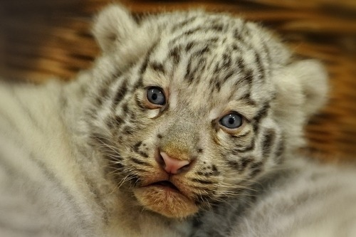Cute Baby White Tigers Tumblr