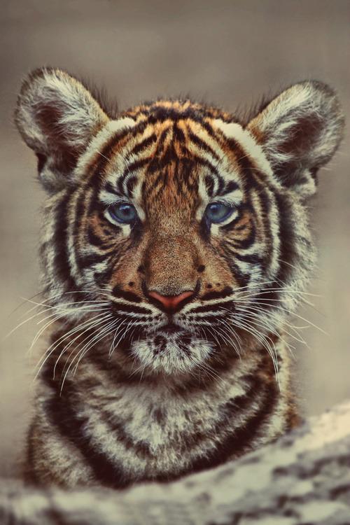 beauty cute beautiful dreams animal blue eyes nature i ...