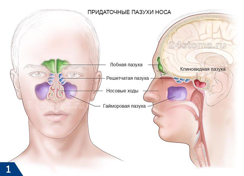 Схема расположения решетчатых пазух и других придаточных пазух носа