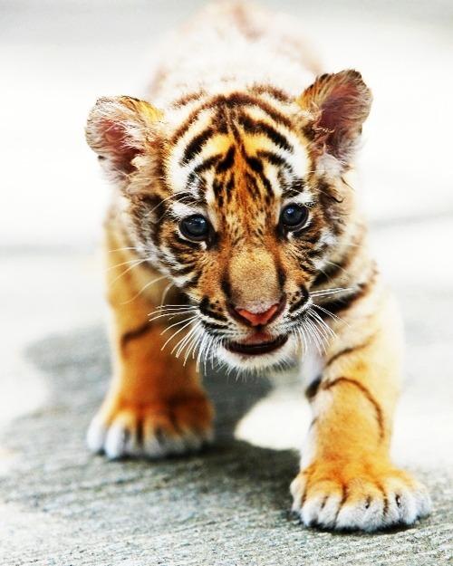 pet tiger on Tumblr