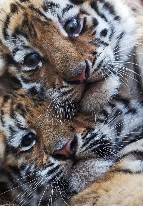 baby tigers | Tumblr