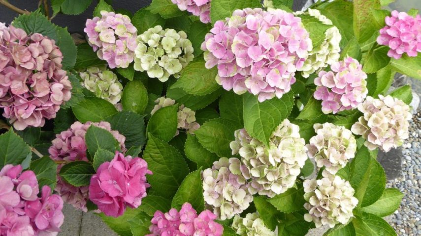 Keep Pests and Diseases Away From Hydrangeas   Espoma Keep Pests and Diseases Away From Hydrangeas