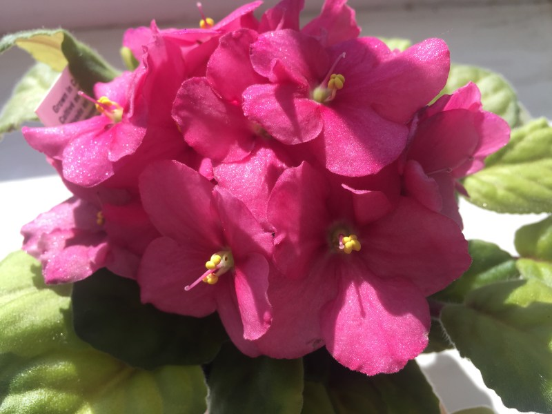 6 Steps to Keep African Violets Blooming   Espoma he colorful blooms of African violets are extra special  They ll instantly  add color