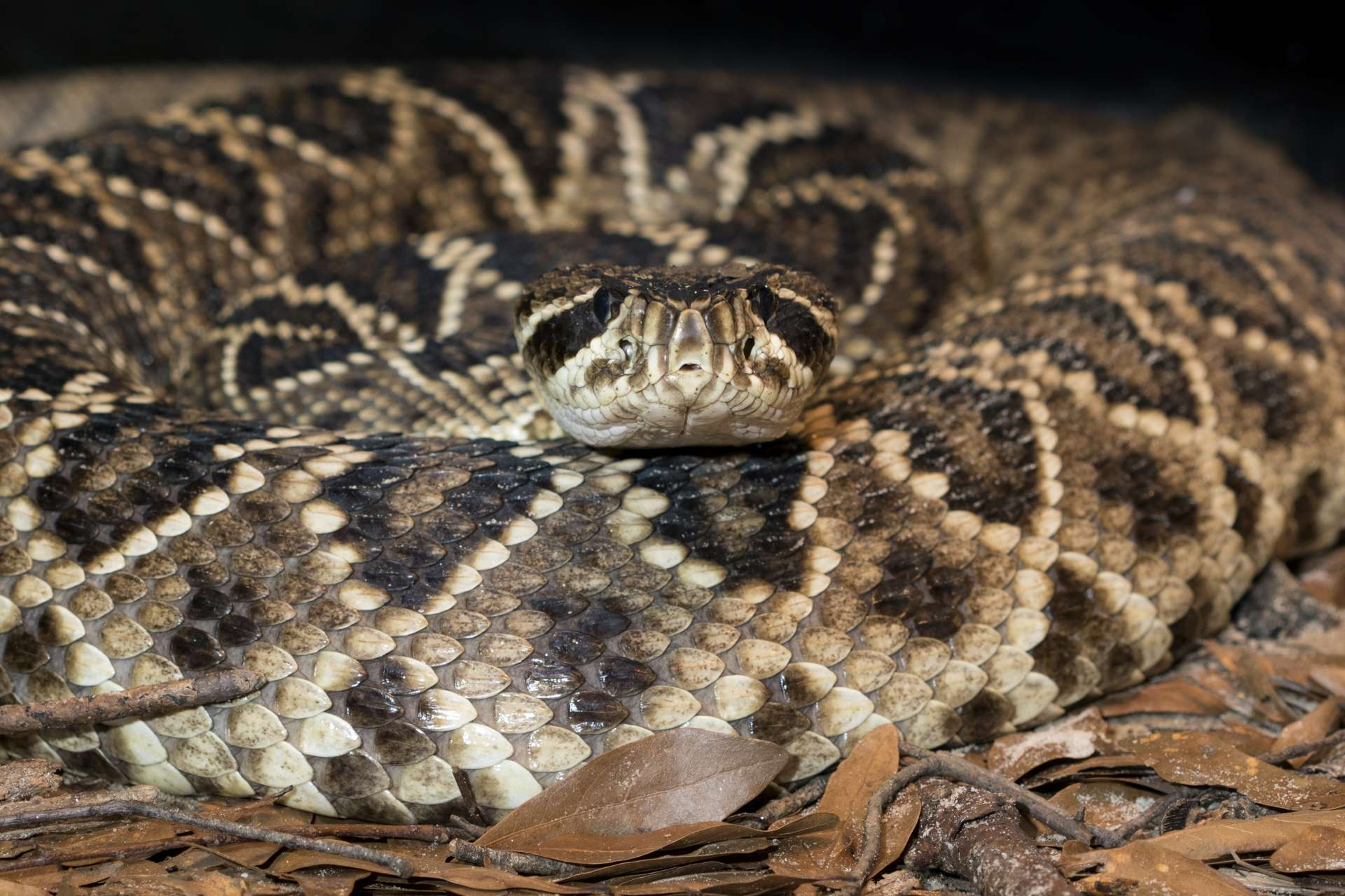 Eastern Diamondback Rattlesnake - Zoo Atlanta