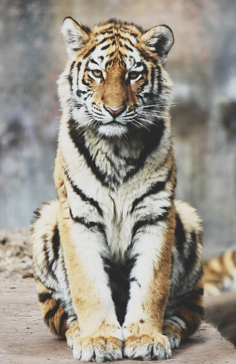 baby bengal tiger | Tumblr