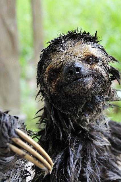 Wet Sloth - Bing images