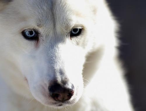 Grey Dog Husky And Show Siberian White