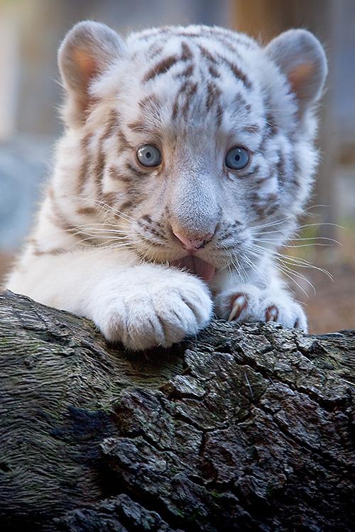 white tiger baby | Tumblr