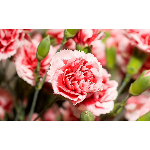 Natural Carnation Flower  Carnation Flowers   Rathna Distributors     Natural Carnation Flower