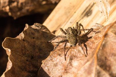 Spider Characteristics/Facts - Spyder